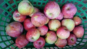 Äpfel - westfälischer Gülderling