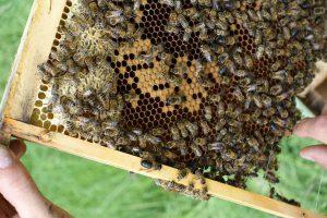 Imker prüft Bienen auf Wabe
