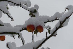 Verschneiter Apfelbaum