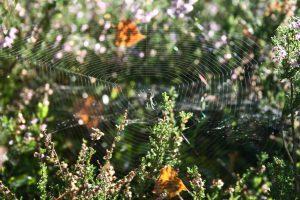 Ein Spinnennetz in der Heide