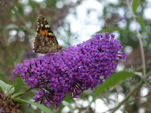 Distelfalter auf Buddleja-Blütenrispe