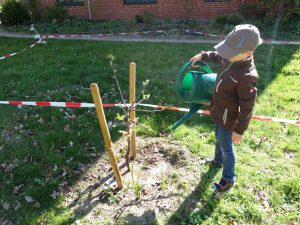 kleiner Junge gießt jungen Apfelbaum