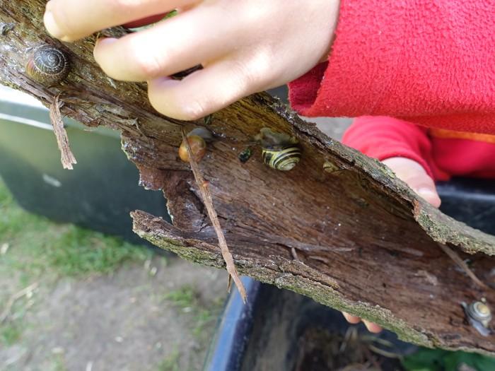 Baumrinde mit vielen kleinen Schnecken darauf