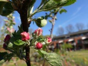 Apfelbaumzweig mit Blütenknospen im LeNa-Garten